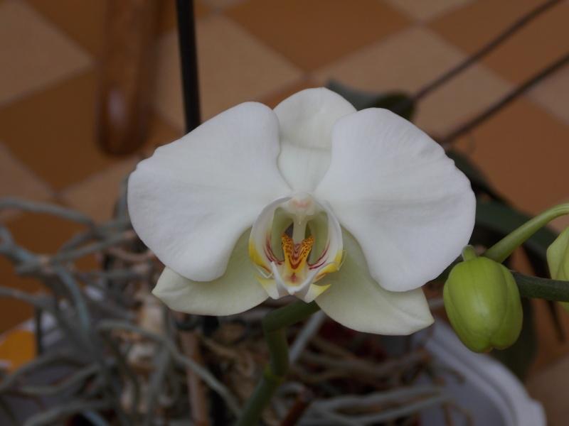 Mes orchidées 04311