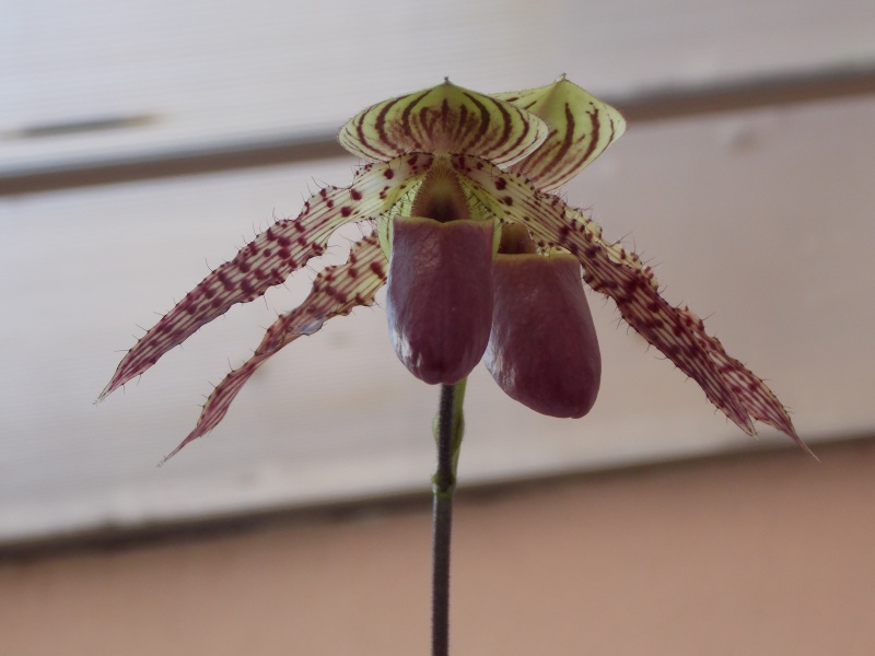 Mes orchidées 05810