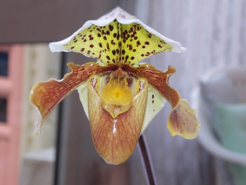 Mes orchidées 07111