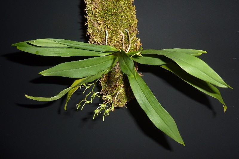 Angraecum calceolus Angrae10