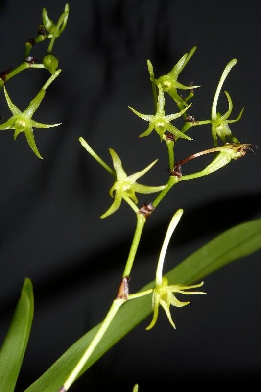 Angraecum calceolus Angrae11