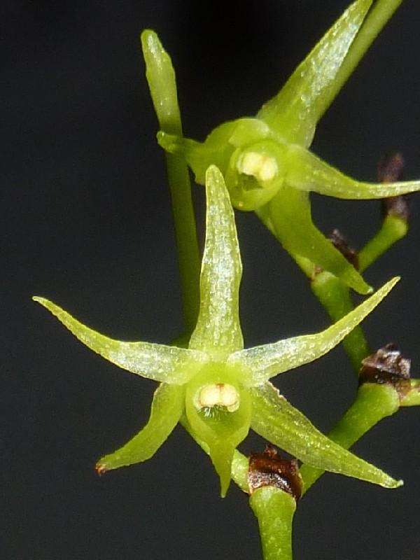 Angraecum calceolus Angrae12