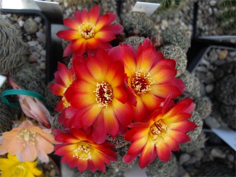 Kakteenblüten von 2012 - Seite 17 530