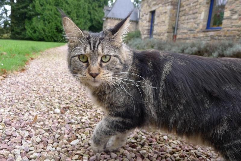 Perdu GAÏA chate tigrée à poils longs à 35 PLELAN LE GRAND (mars 2013) L1010610