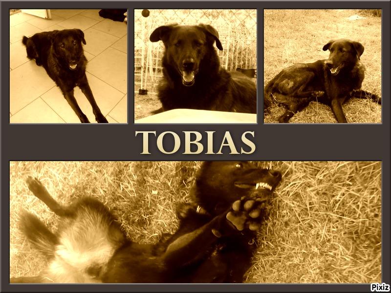 TOBIAS croisé berger  EUTHANASIE PREVUE PART EN FA CHEZ VANESSA  49 - Page 3 Tobias10
