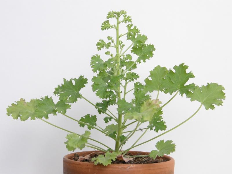 Pelargonium - Pelargonien - alle nichtsukkulenten Arten und Sorten - Aussaat - Stecklinge - Seite 5 Pelarg10