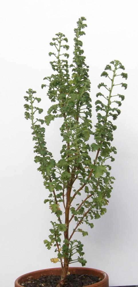 Pelargonium - Pelargonien - alle nichtsukkulenten Arten und Sorten - Aussaat - Stecklinge - Seite 5 Pelarg12