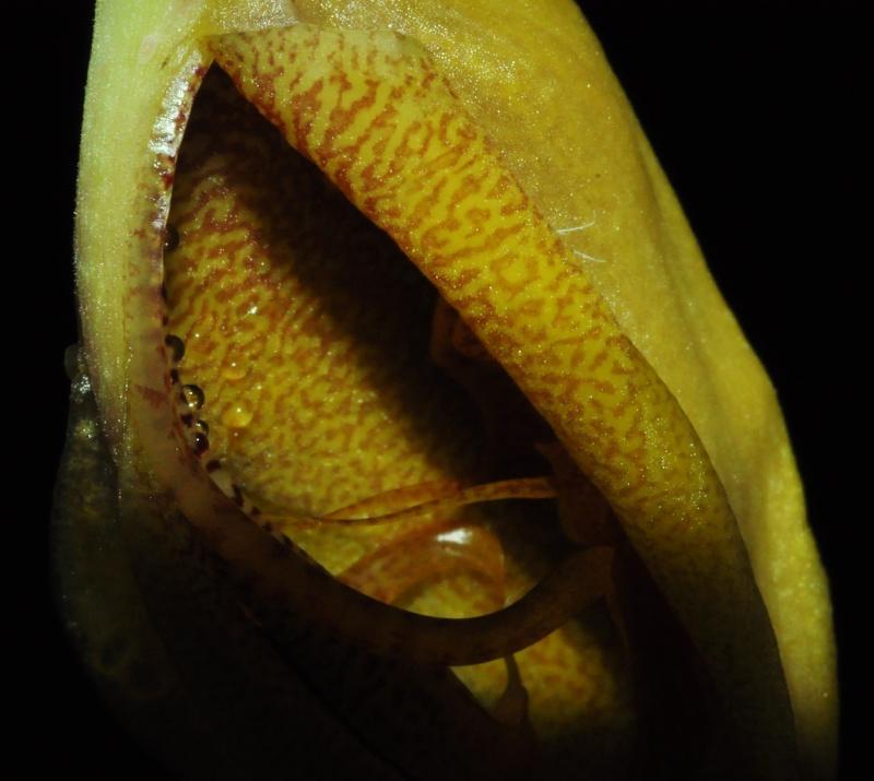 Gongora gratulabunda pecosa éclosion Gongor10