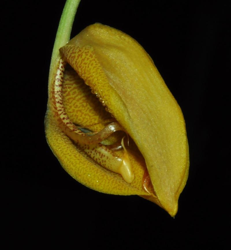 Gongora gratulabunda pecosa éclosion Gongor11