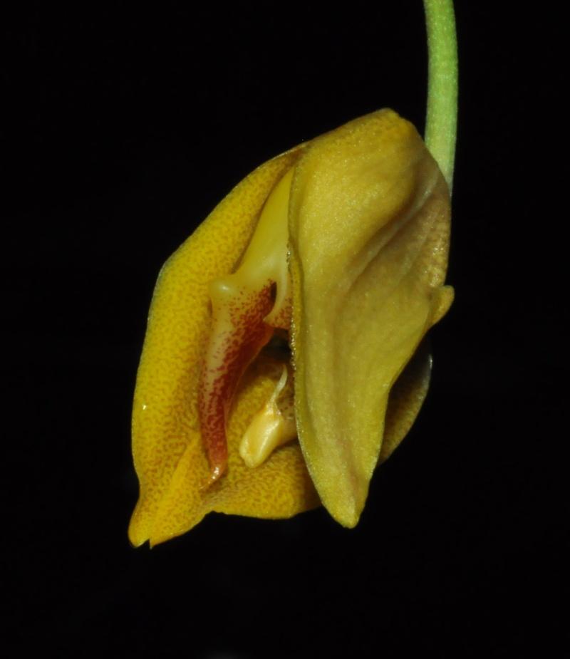 Gongora gratulabunda pecosa éclosion Gongor12