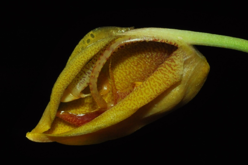 Gongora gratulabunda pecosa éclosion Gongor13