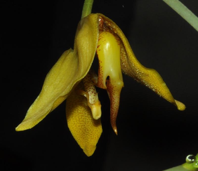 Gongora gratulabunda pecosa éclosion Gongor17