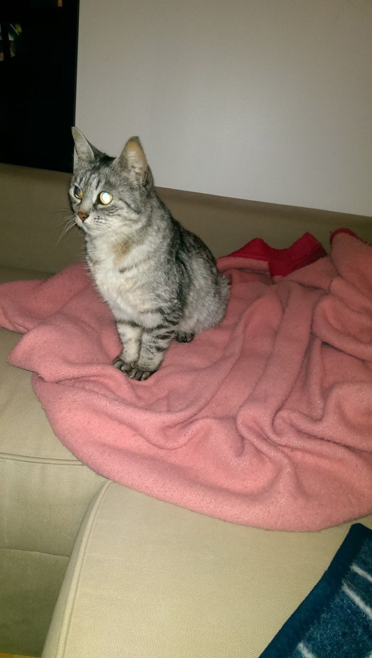 Caline - Adorable minette tabby grise ultra caline ;) 10155410