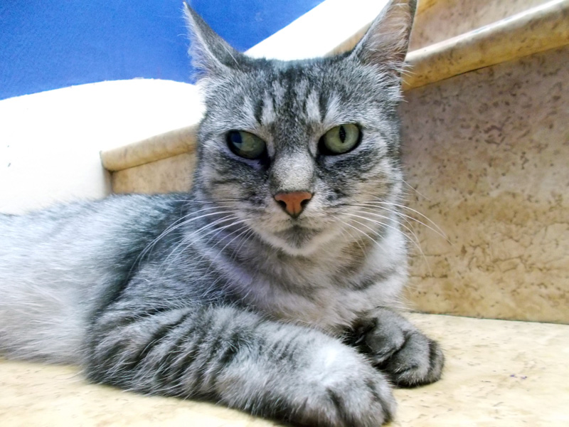 Caline - Adorable minette tabby grise ultra caline ;) Cyline10