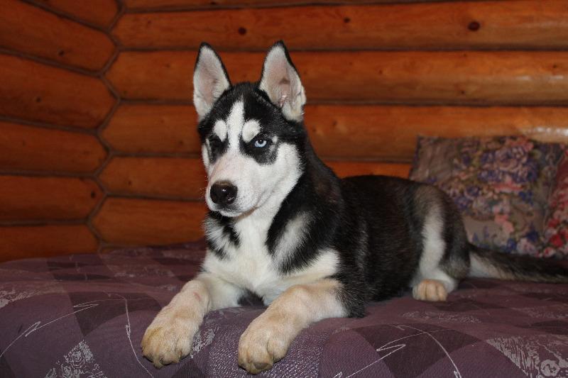 щенки - продаются щенки Сибирского хаски - Страница 2 Img_0810