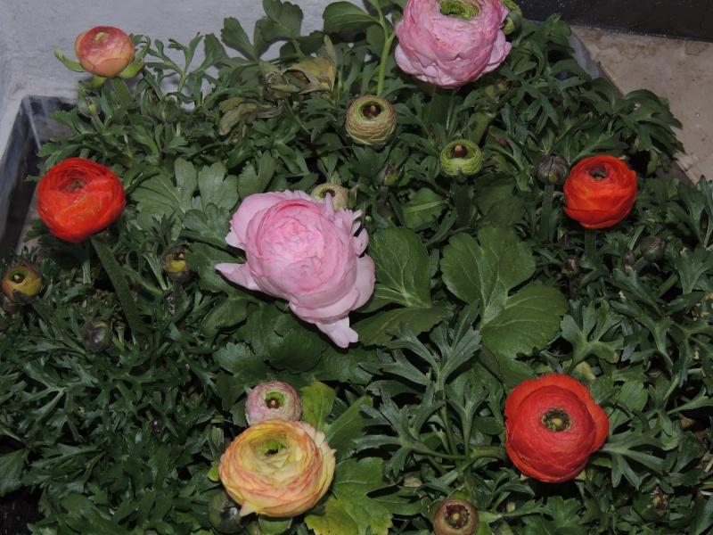 Hahnenfußgewächse (Ranunculaceae) - Winterlinge, Adonisröschen, Trollblumen, Anemonen, Clematis, uvm. Ranunk10
