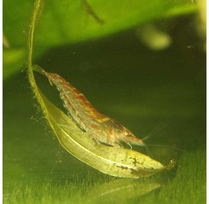 aqua 300L biotope asie du sud est Crevet10