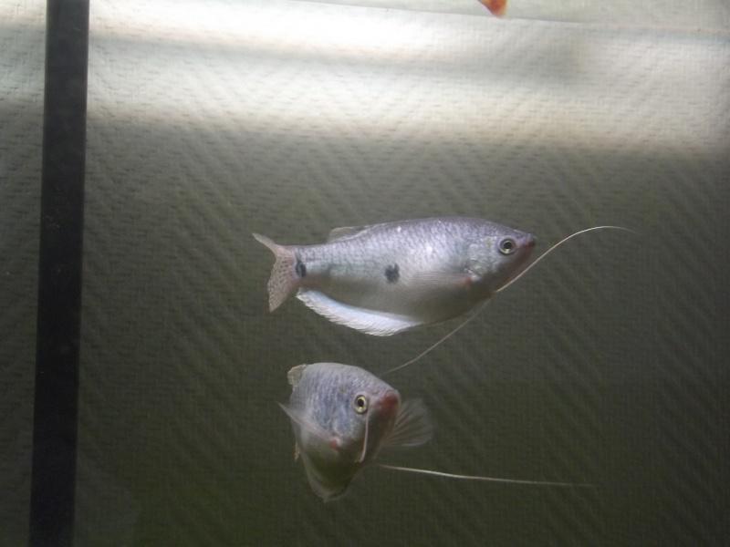 aqua 300L biotope asie du sud est Dscf2815
