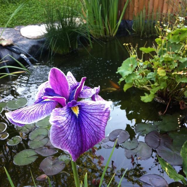 mon bassin sur la terrase pour boire un verre au pres des carpe koii B_410