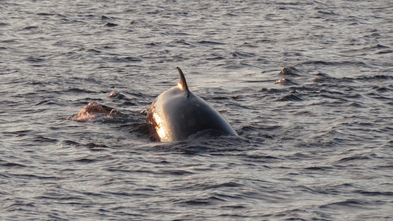 Baleines aux Bergeronnes Img_8111
