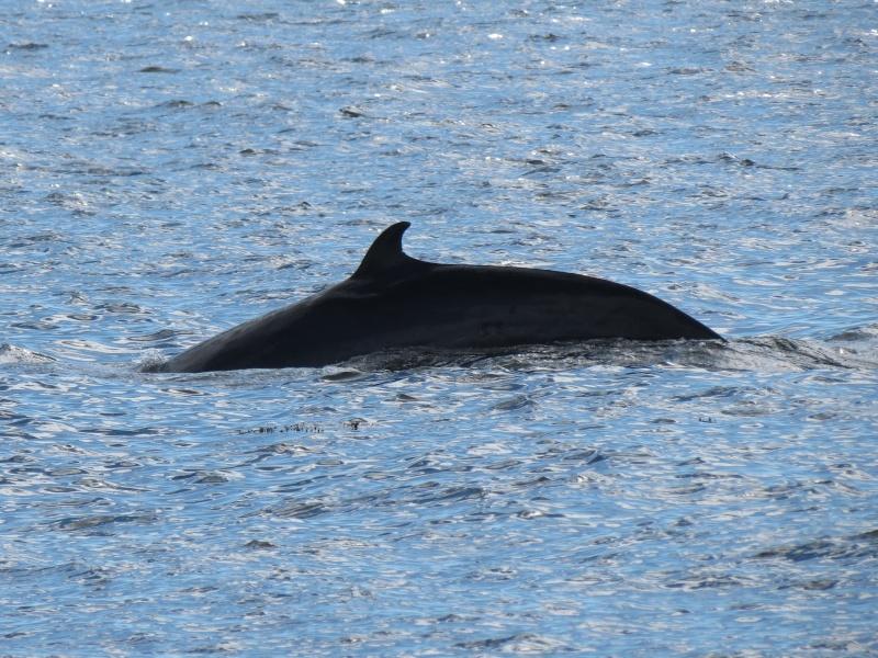 Baleines aux Bergeronnes Img_8210