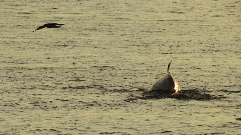 Baleines aux Bergeronnes Img_8611