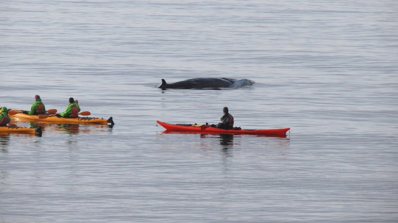 Baleines aux Bergeronnes Img_8612