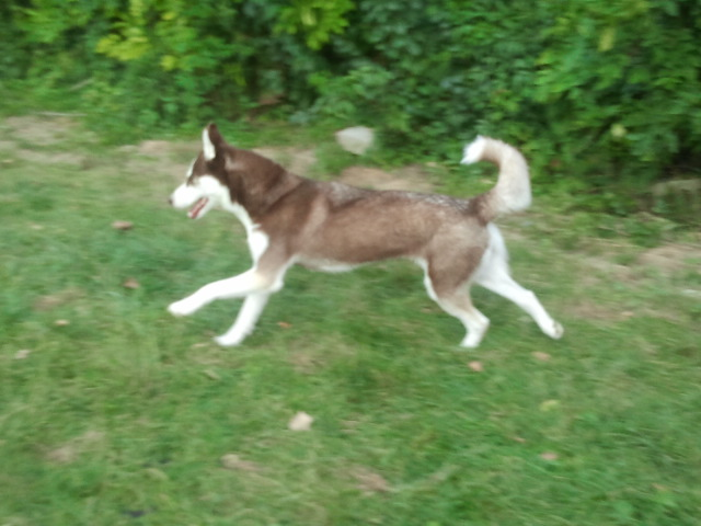 What Color Is My Husky? 2012-013
