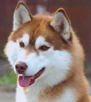 What Color Is My Husky? Redy_b10