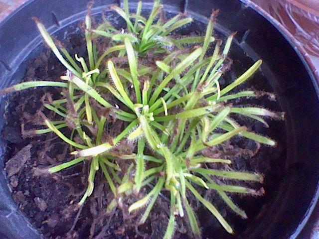 Dois-je tailler mon Drosera capensis et que faire avec les futures fleurs? Hni_0016