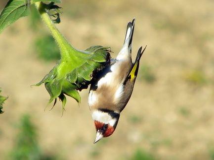 Les oiseaux de mon jardin  Chardo10