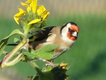 Les oiseaux de mon jardin  Chardo11