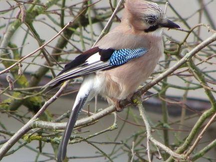 Les oiseaux de mon jardin  Geai110