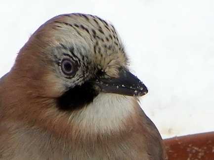 Les oiseaux de mon jardin  Geai510