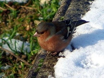Les oiseaux de mon jardin  Pinson10