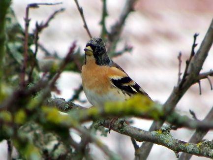 Les oiseaux de mon jardin  - Page 2 Pinson11
