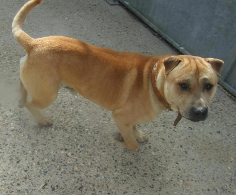 Charlie, Shar Pei x Labrador - needs URGENT rescue space SAFE Charli10