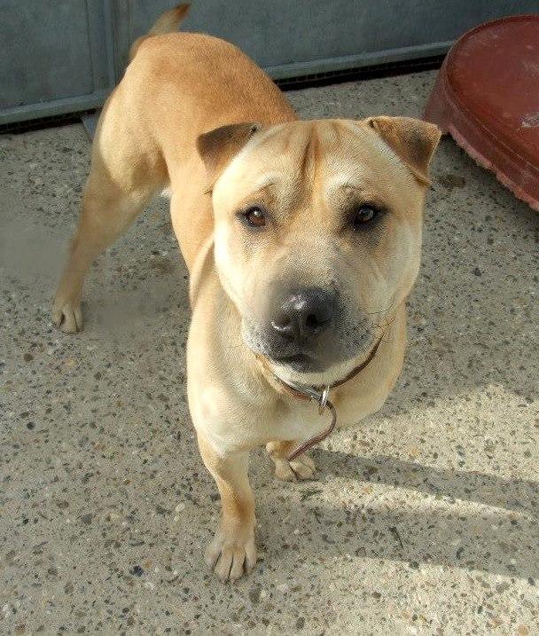 Charlie, Shar Pei x Labrador - needs URGENT rescue space SAFE Charli12