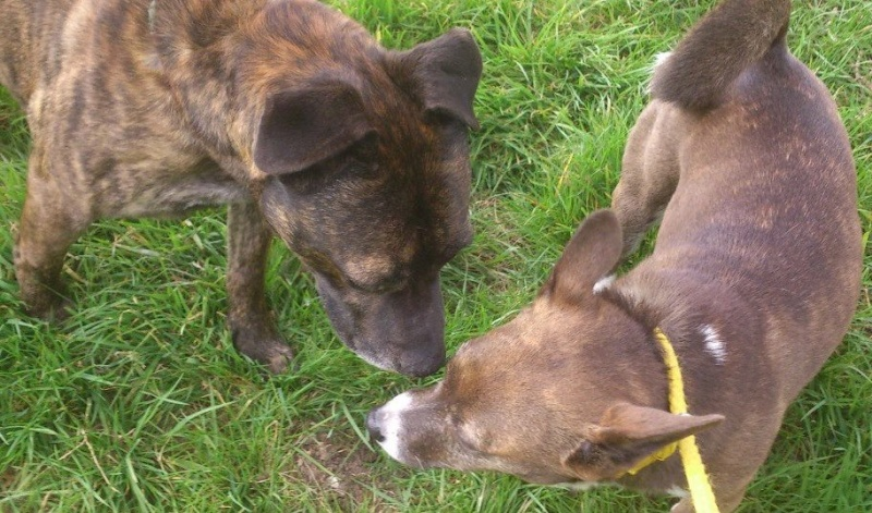 Chase 5-6 years staffie may have impaired vision very subdued  SAFE Chase_12