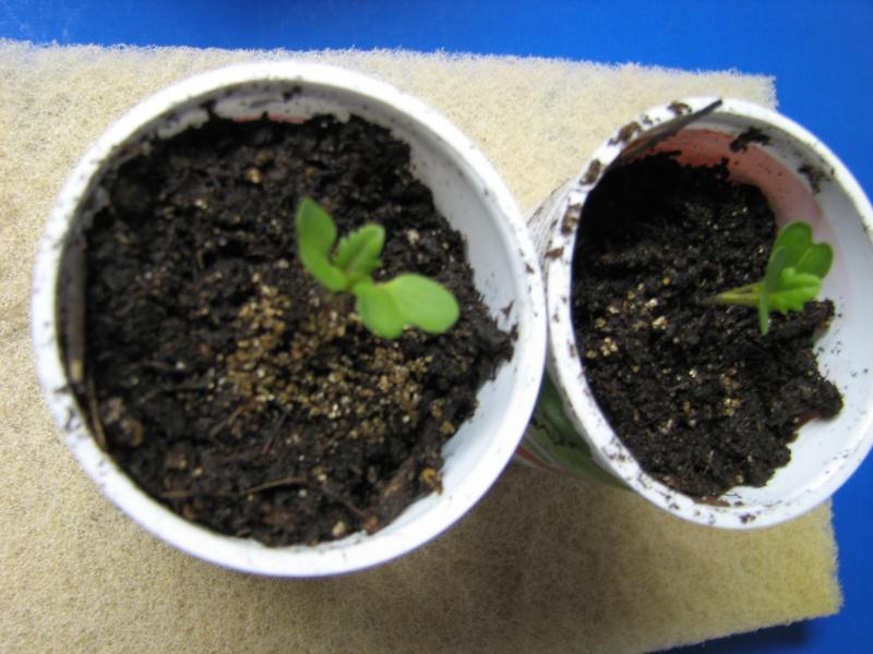 Starting seeds in vermiculite? Yogurt13