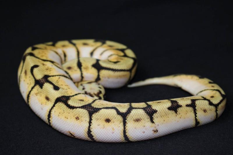 Quelques Snakes... 10694210