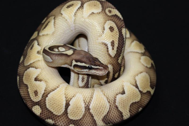 Quelques Snakes... 10694211