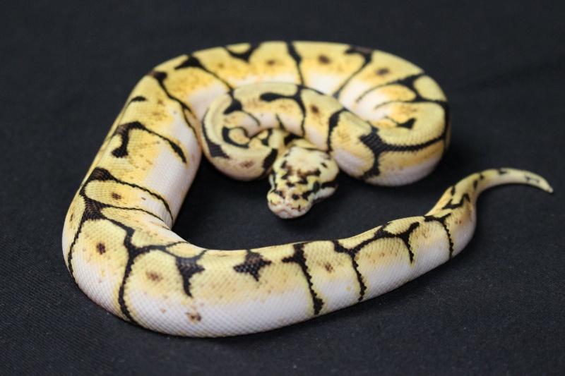 Quelques Snakes... 10708510