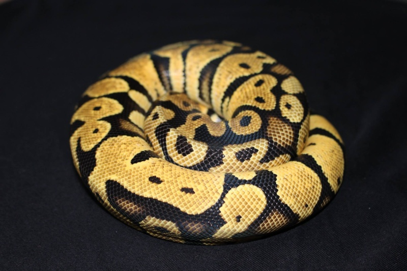 Quelques Snakes... 10714210