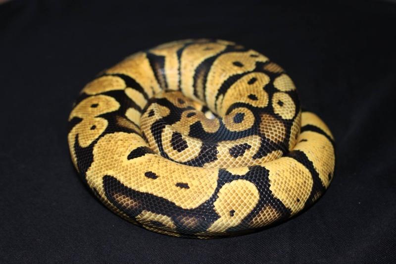 Quelques Snakes... 10714211