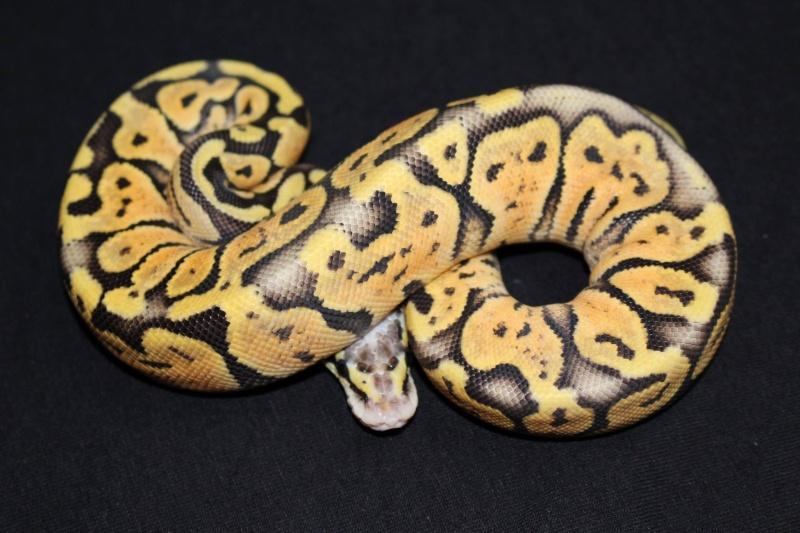 Quelques Snakes... 14627910
