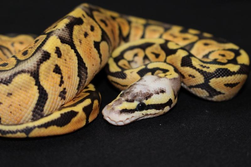 Quelques Snakes... 17824710