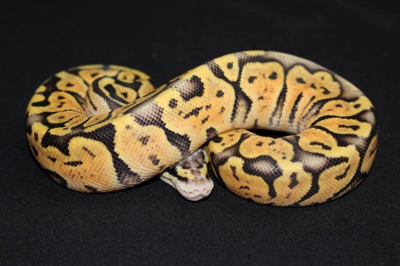 Quelques Snakes... 19577910