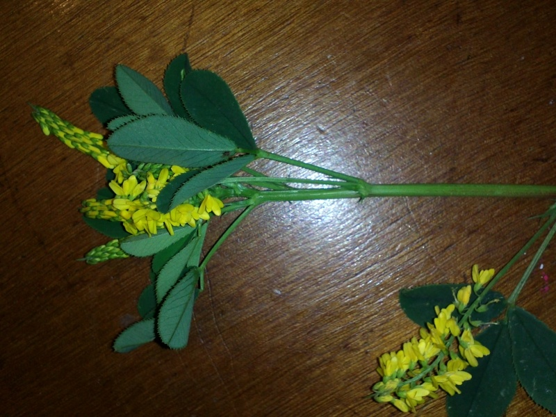 petite plante (melilotus officinalis ) Img38810