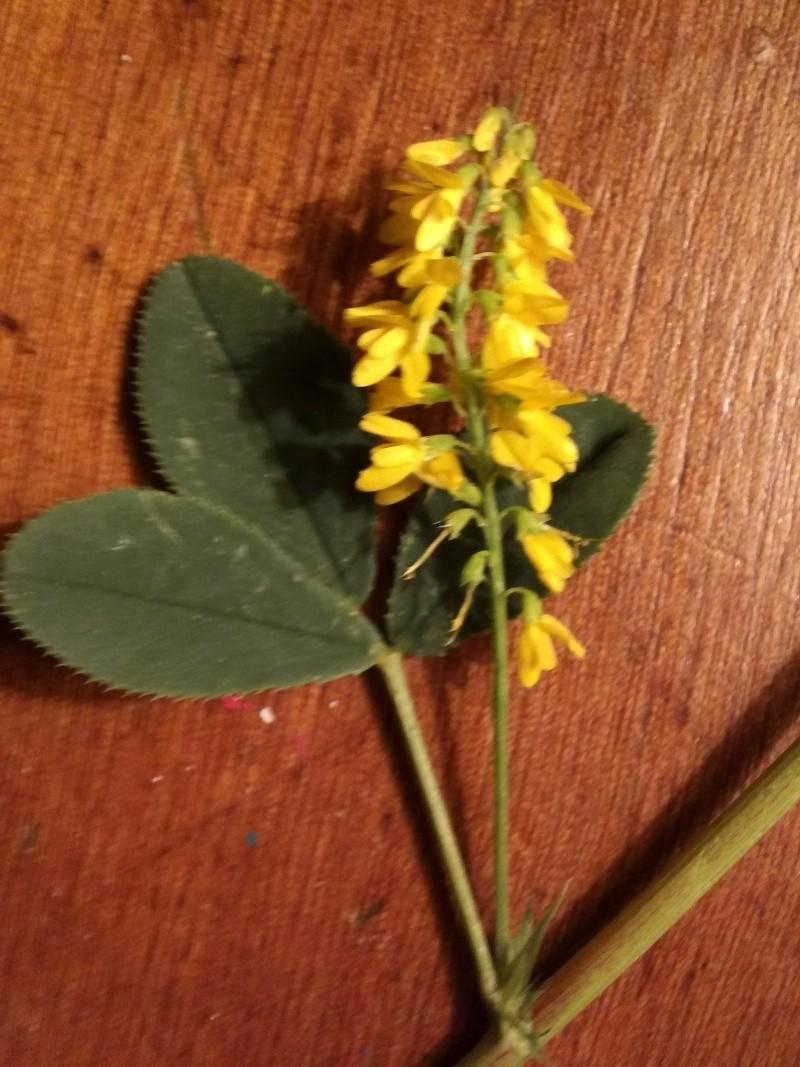 petite plante (melilotus officinalis ) Img39110